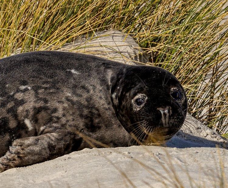 A seal on Norfolk beach